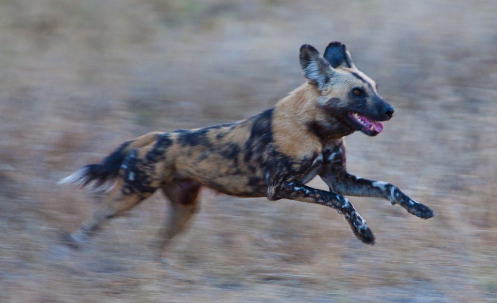 african-wild-dog-running