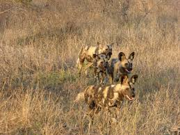 african-wild-dogs-pack