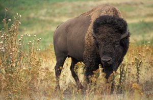 american-bison-for-kids