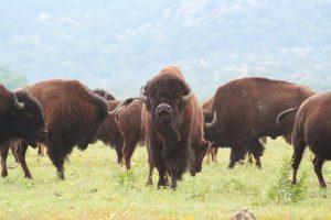 american-bison-herd