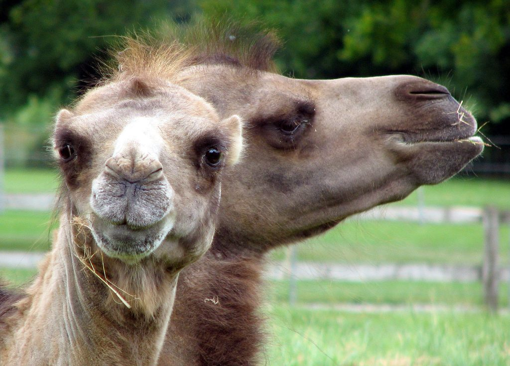bactrian-camel-nose