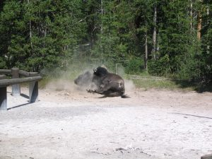 bison-dust-bath