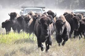 bison-running