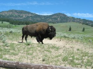 bison-national-park