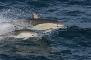 dolphin-mother-calf