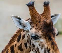 giraffe-horns