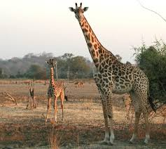 giraffe-mother-calf