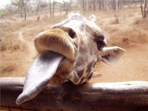 giraffe-tongue
