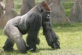 gorilla-knuckle-walking