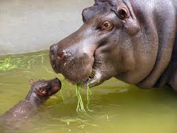 hippo-mother-calf