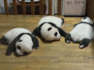 panda-cubs-sleeping