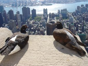 pigeon-new-york