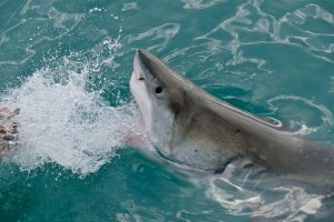shark-predators