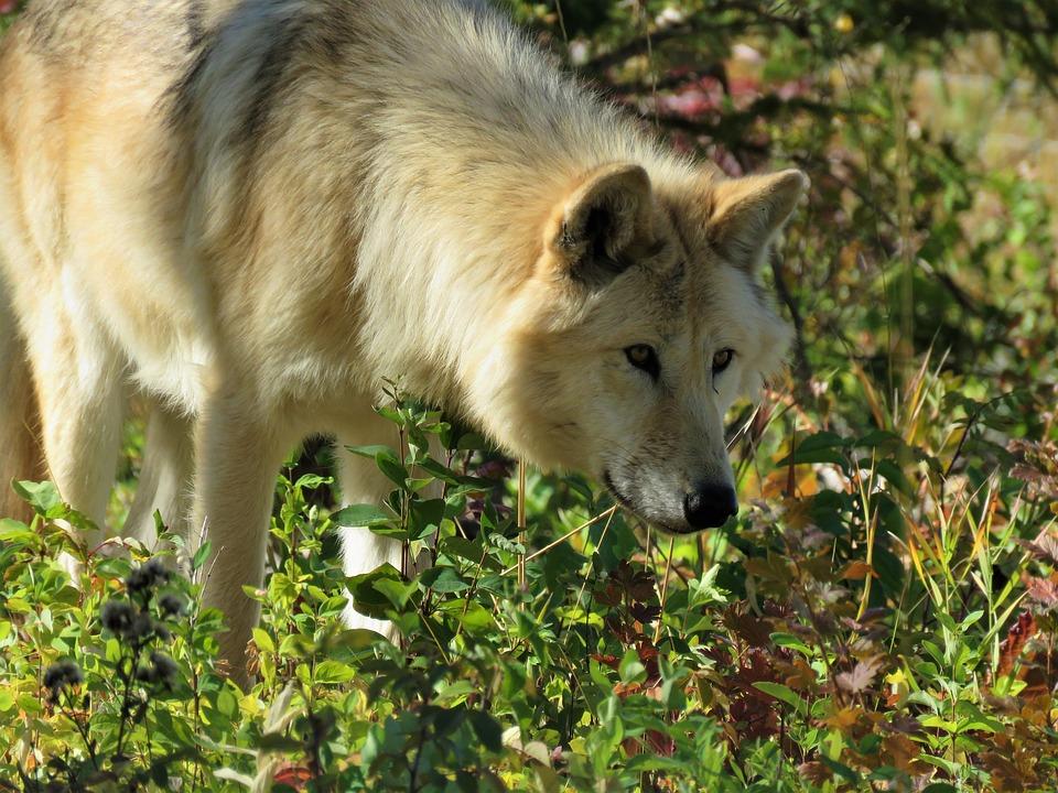 wolf-predator