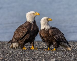 bald-eagle-ddt
