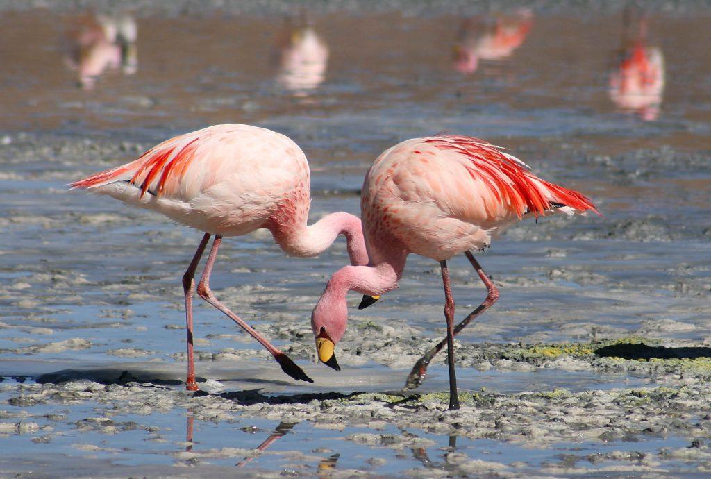 flamingo-facts-kids