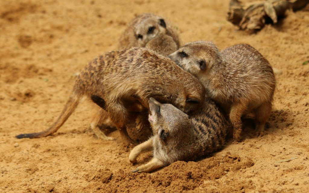 meerkats-fighting