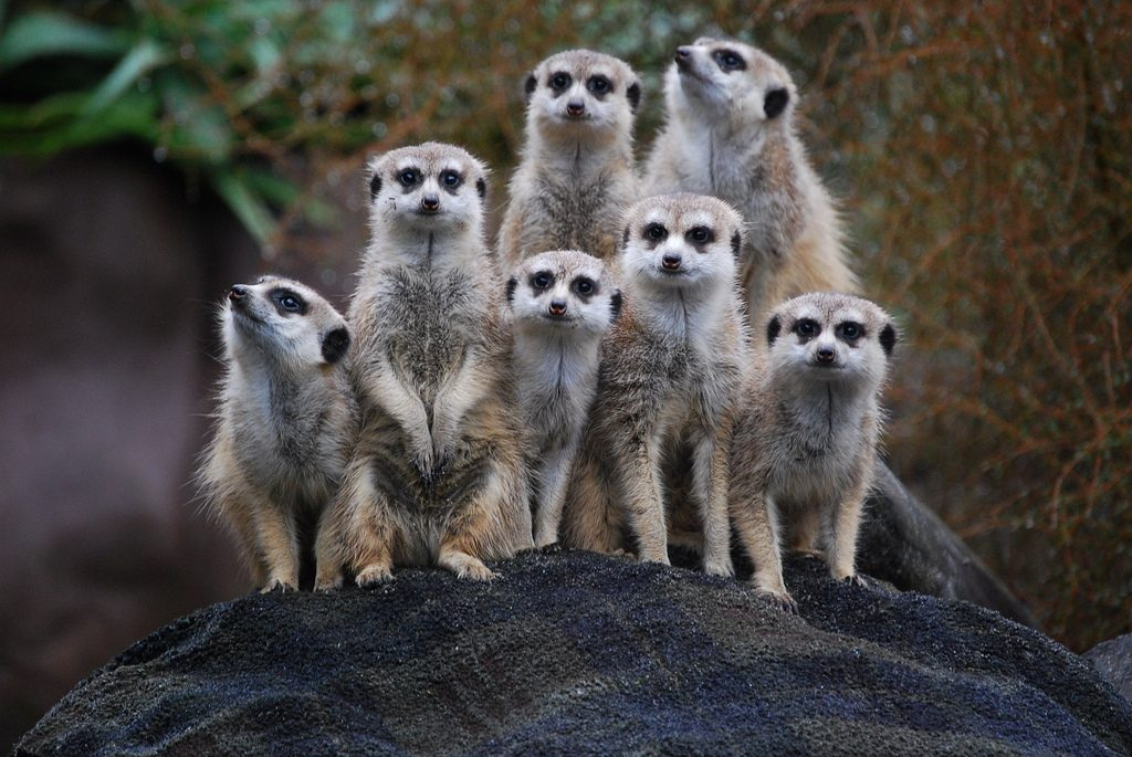 meerkats-for-kids