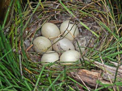 platypus-eggs