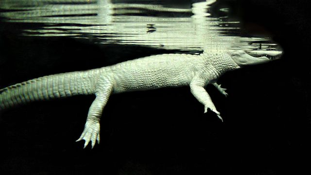 Albino Alligator