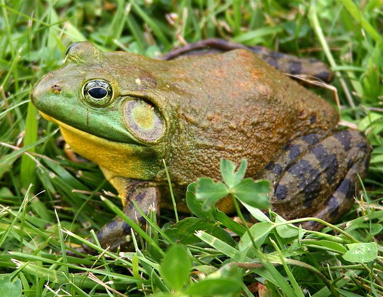 American Bullfrog Habitat