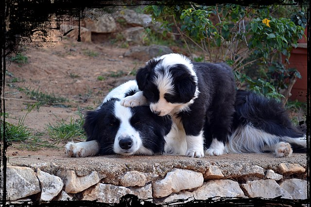Border Collie with Puppy