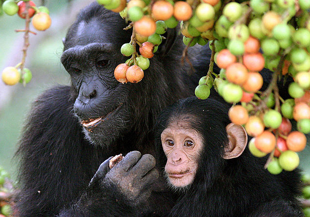 Chimpanzee with infant