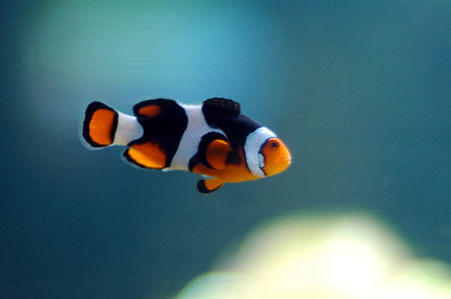 Clownfish Swimming