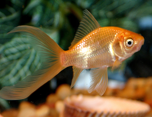 Comet tailed Goldfish
