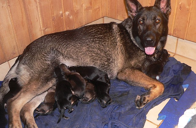 Female GSD with puppy