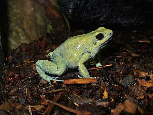 Gold Poison Dart Frog colour