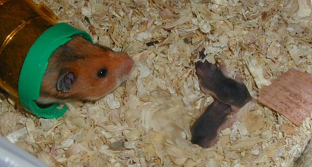 Hamster with Pups