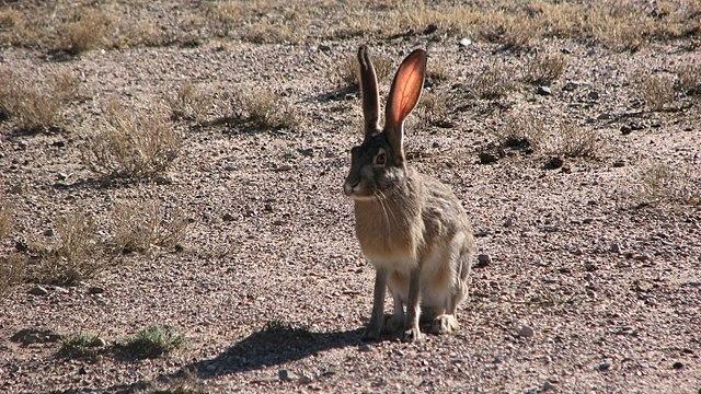 Hare in Habitat