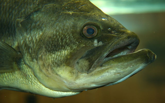 Largemouth Bass Head