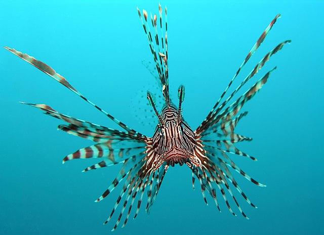 Lionfish Swimming