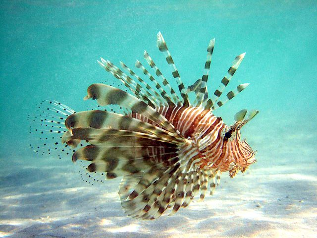 Lionfish in Habitat