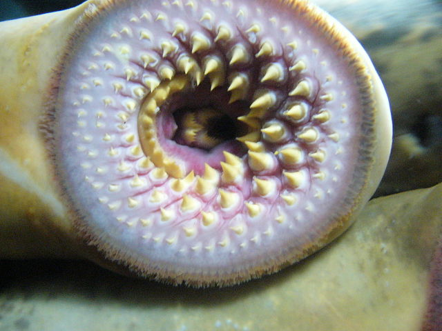 Mouth of Sea Lamprey
