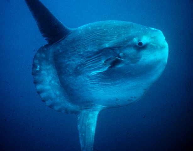 Ocean Sunfish Mola Swimming