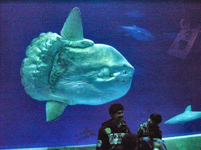 Ocean Sunfish Mola in Captivity