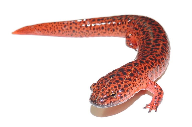 Red Salamander Population