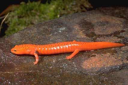 Red Salamander Diet