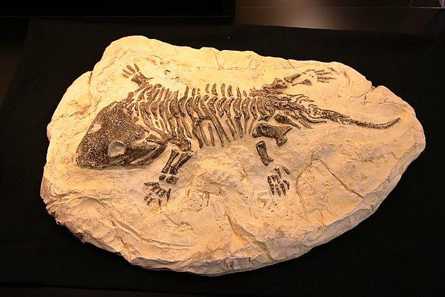 Seymouria Fossil