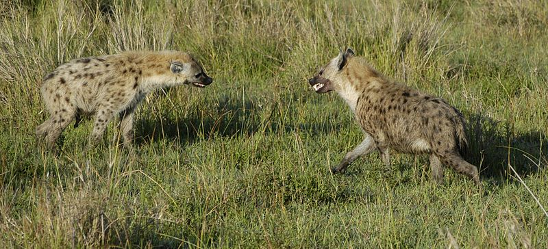 Spotted Hyena Fighting
