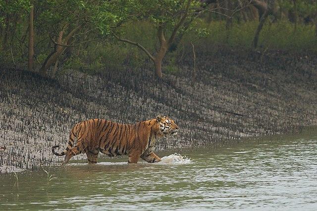 Tiger Habitat