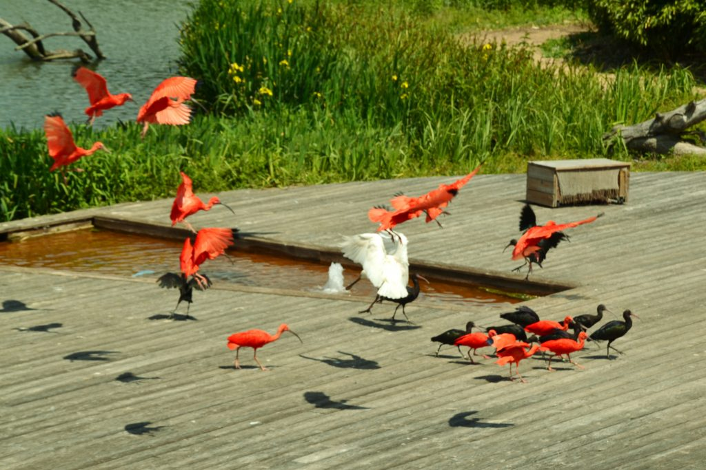 cardinal-flock