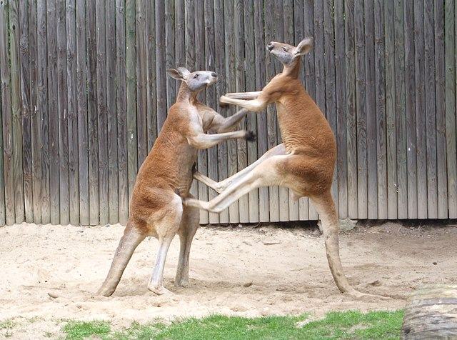 Red Kangaroo Pair