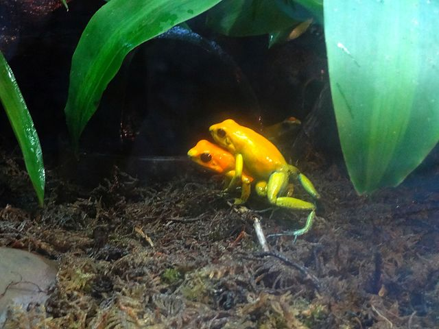 Gold Poison Dart Frog mating