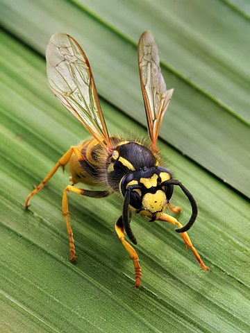 Yellow Jacket Wasp Behaviour