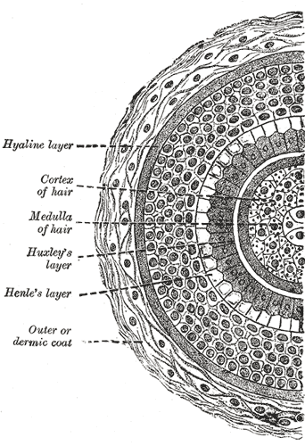 Cross section of hair