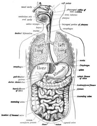 Digestive System Facts - Human Body | Savvy Leo